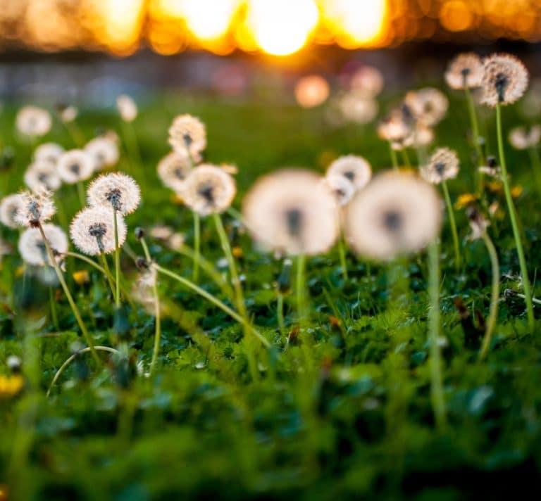 Rohnert Park dandelions